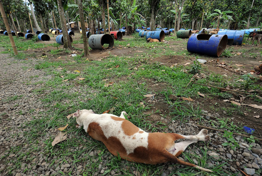 dogs06 На Филиппинах защитники животных обнаружили собачий концлагерь