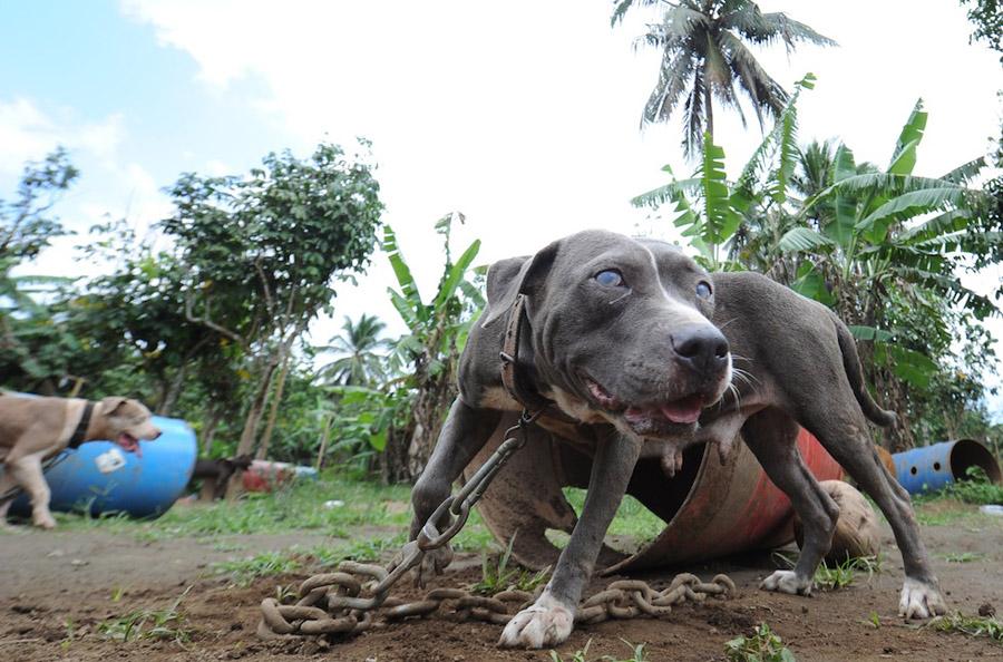 dogs07 На Филиппинах защитники животных обнаружили собачий концлагерь