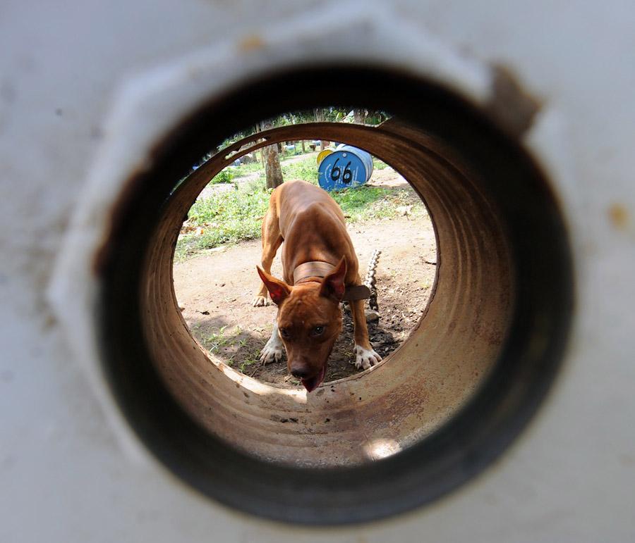 dogs08 На Филиппинах защитники животных обнаружили собачий концлагерь
