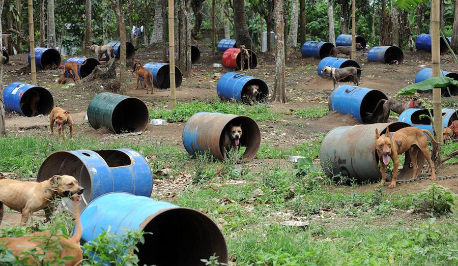 dogs10 На Филиппинах защитники животных обнаружили собачий концлагерь