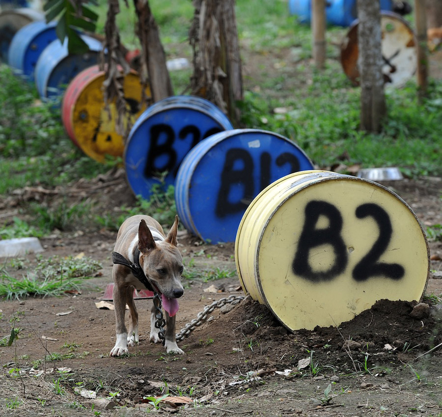 dogs11 На Филиппинах защитники животных обнаружили собачий концлагерь
