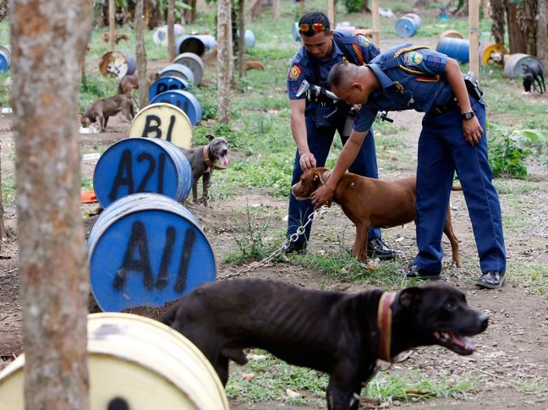 dogs12 800x598 На Филиппинах защитники животных обнаружили собачий концлагерь