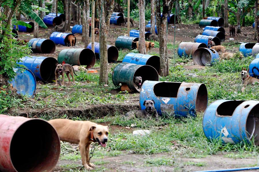 dogs13 На Филиппинах защитники животных обнаружили собачий концлагерь