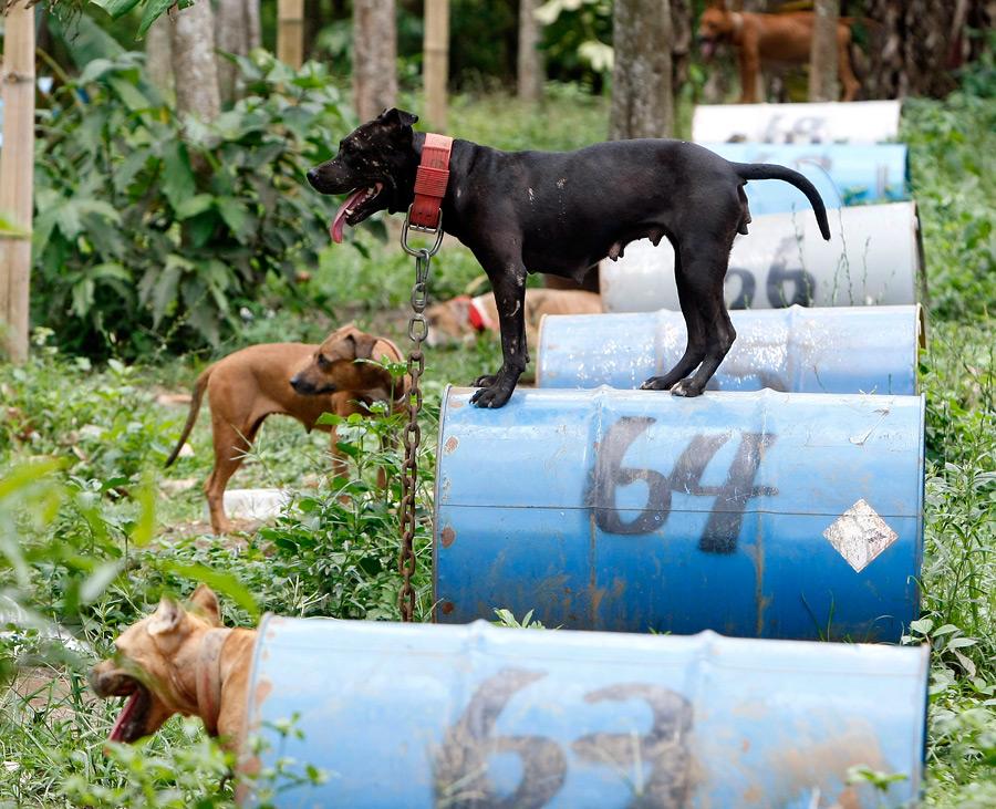 dogs17 На Филиппинах защитники животных обнаружили собачий концлагерь