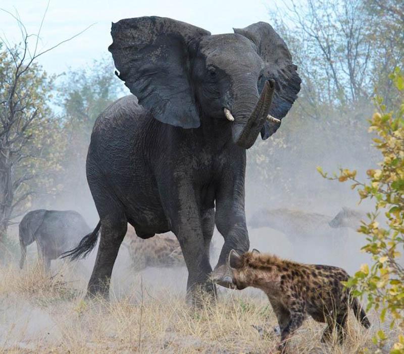 Слониха отбила у гиен своего малыша
