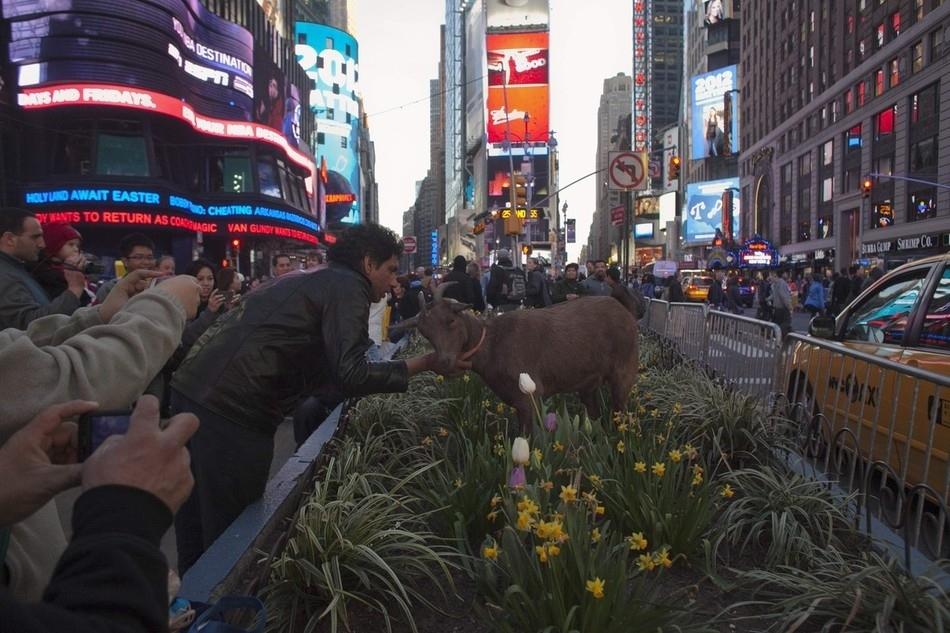 enhancej Коза на улицах Нью Йорка