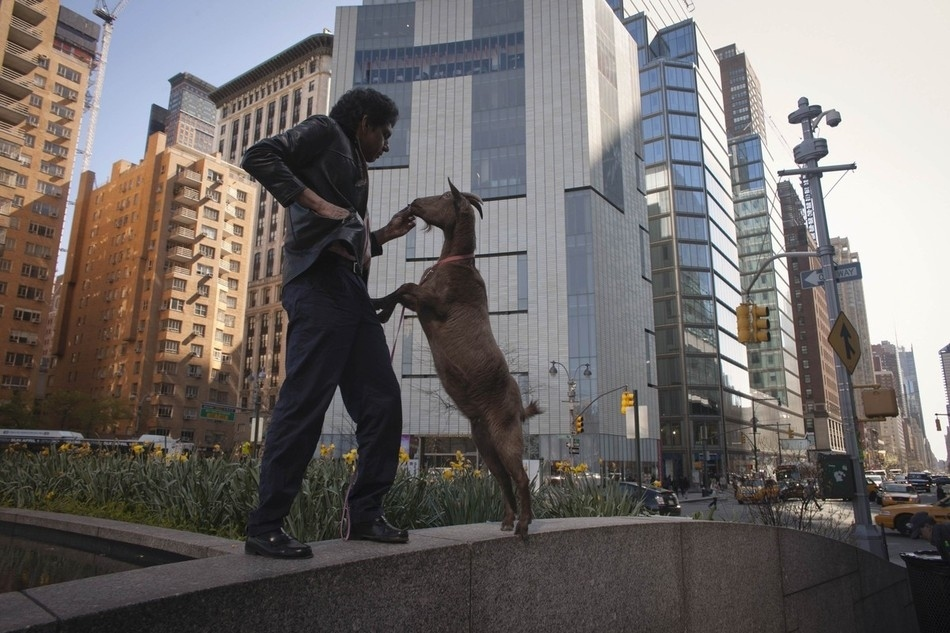 enhancel Коза на улицах Нью Йорка