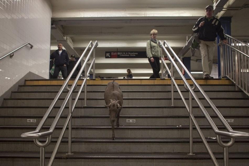 enhancem Коза на улицах Нью Йорка
