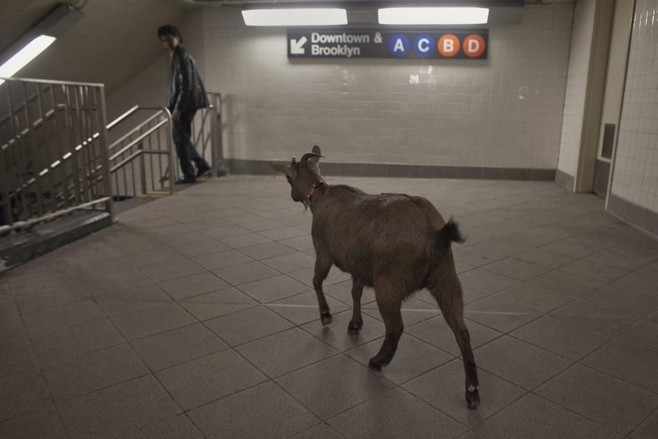 enhancen Коза на улицах Нью Йорка