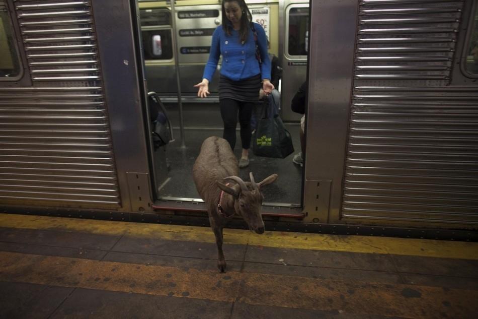 enhances Коза на улицах Нью Йорка