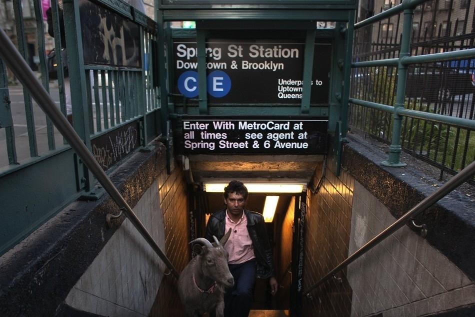 enhancet Коза на улицах Нью Йорка