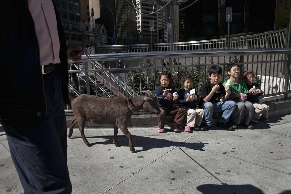 enhancev Коза на улицах Нью Йорка