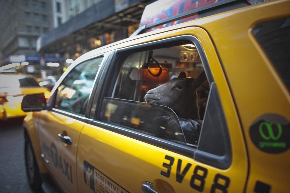 enhancey Коза на улицах Нью Йорка