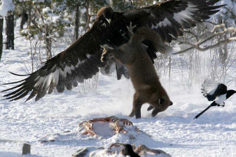 zveri03 Топ 10 самых впечатляющих стычек животных