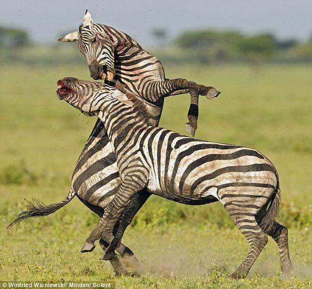 zveri04 Топ 10 самых впечатляющих стычек животных