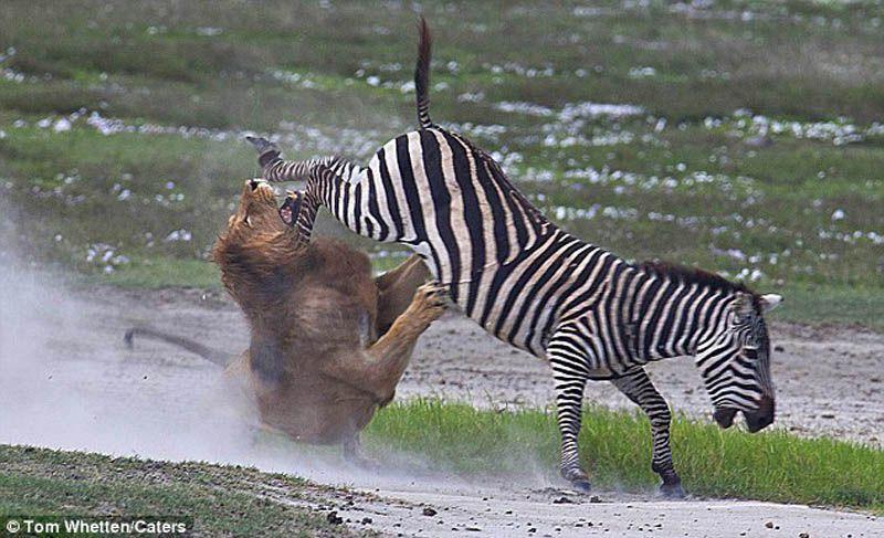 zveri05 Топ 10 самых впечатляющих стычек животных