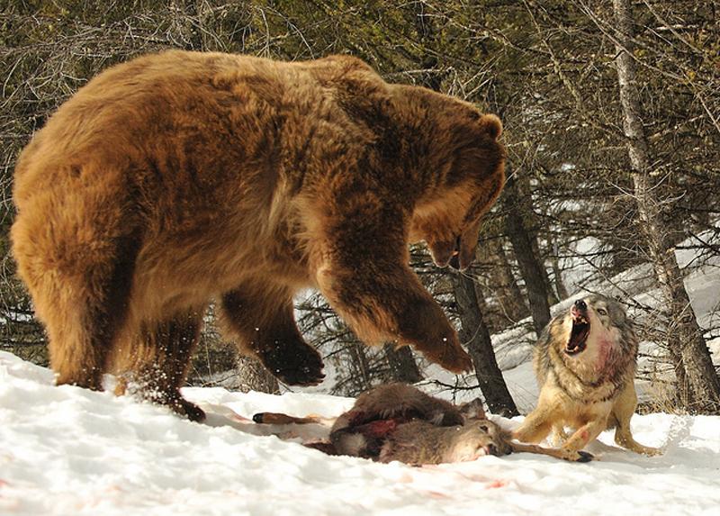zveri06 Топ 10 самых впечатляющих стычек животных