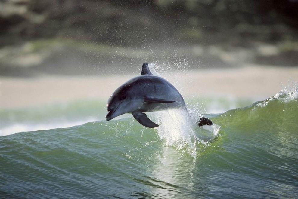 1 990x662 Танцы дельфинов
