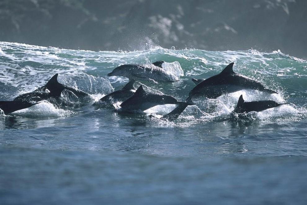 10 990x661 Танцы дельфинов