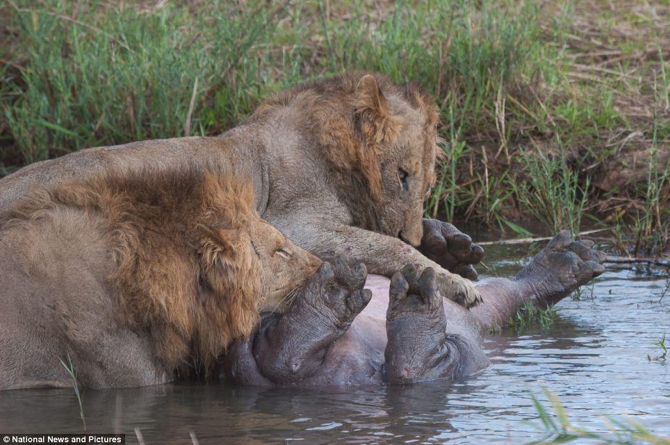 12119 Жестокая природа: гиппопотам против львов