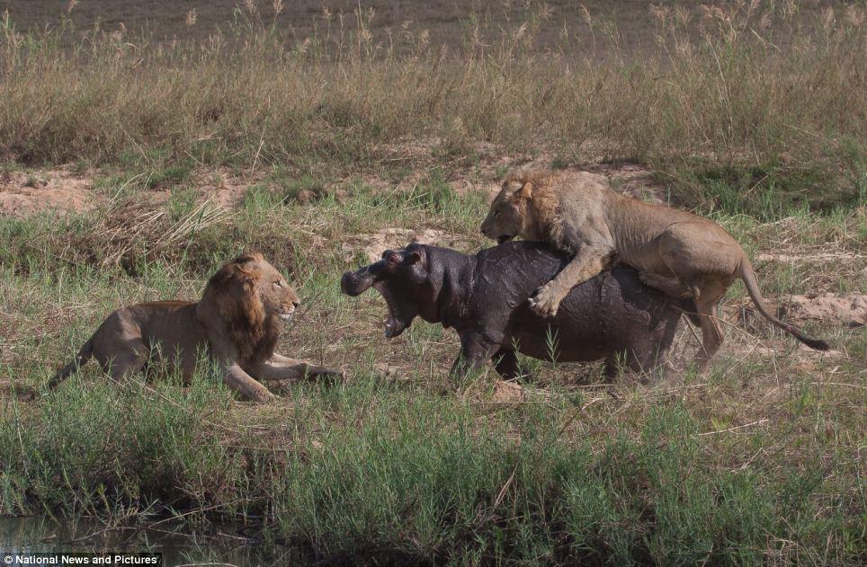 1401 Жестокая природа: гиппопотам против львов
