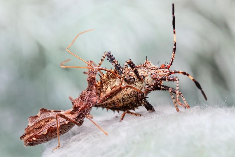 1465 عيون الحشرات إيغور Sivanovicha