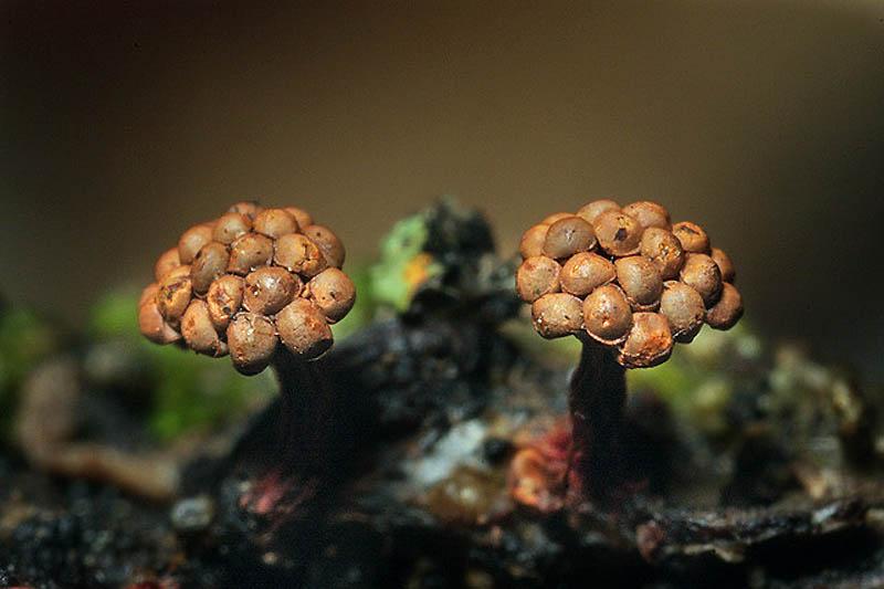 1505 Слизевые грибы