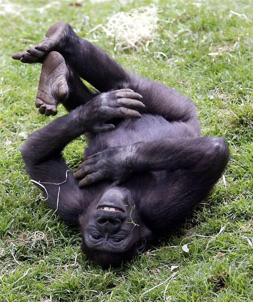 Животные, которые умеют смеяться