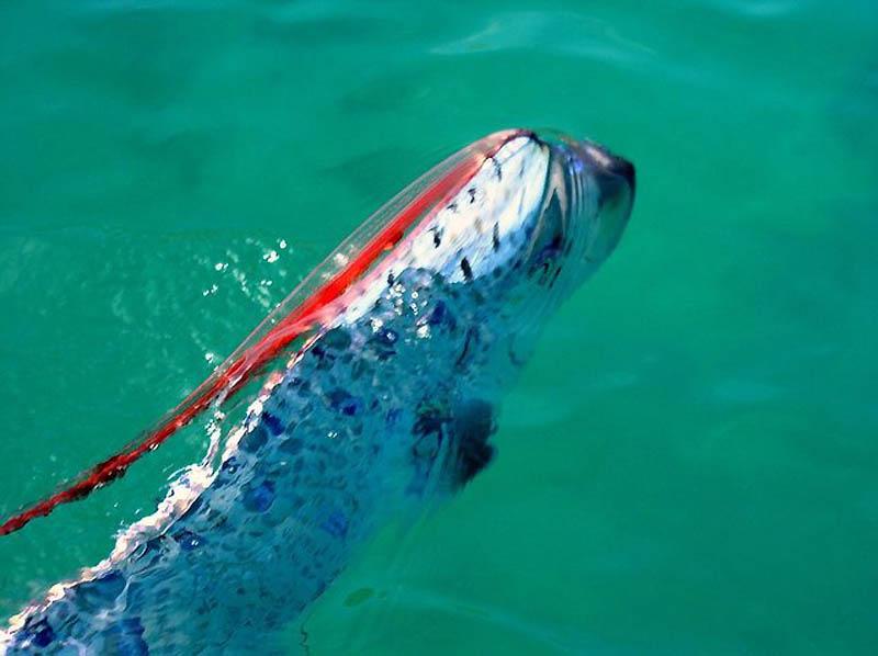 1704 Чудо рыба