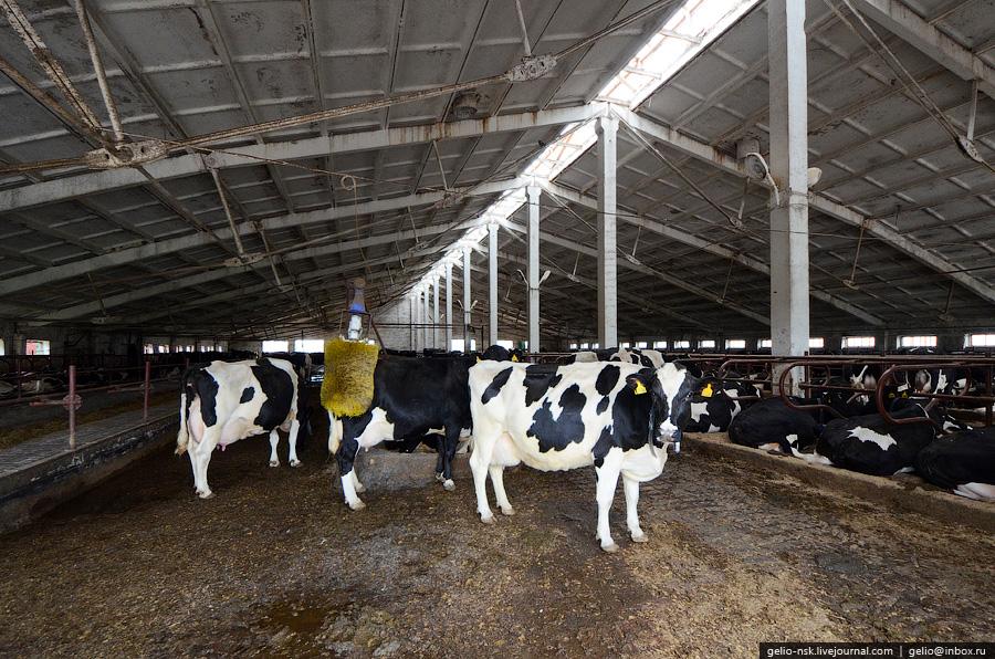 1747 Производство молока: Племзавод Ирмень в Новосибирской области