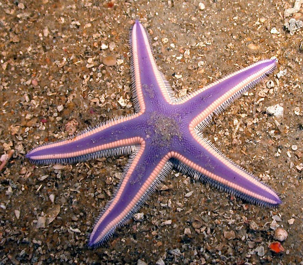 1760 Морская звезда