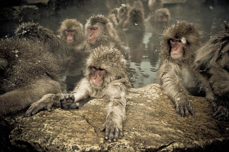 1800 Японские макаки в горячих источниках Нагано