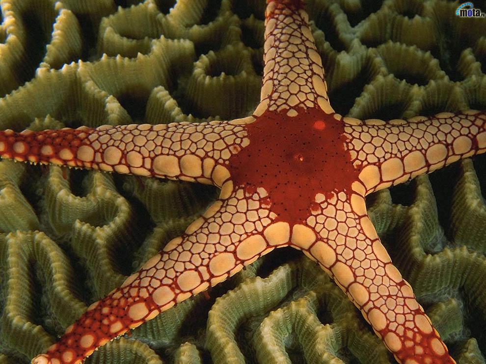 1951 Морская звезда