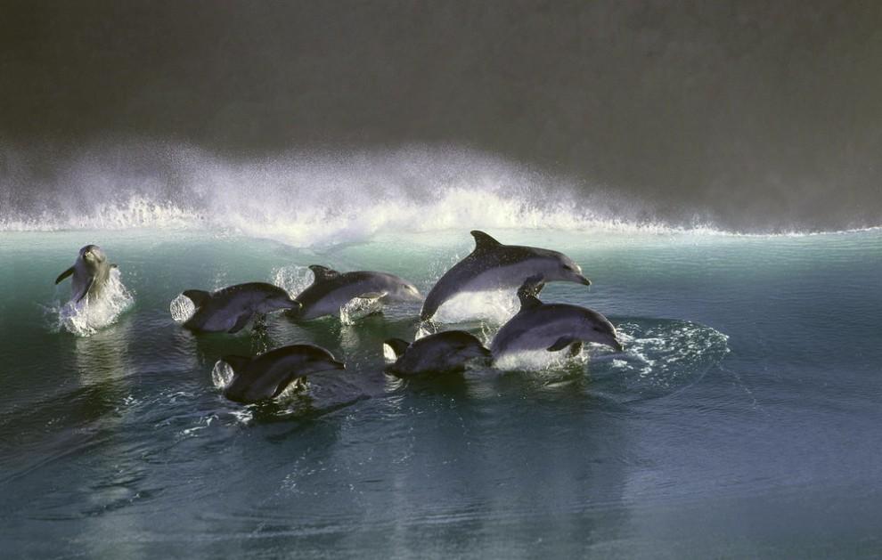 2 990x629 Танцы дельфинов