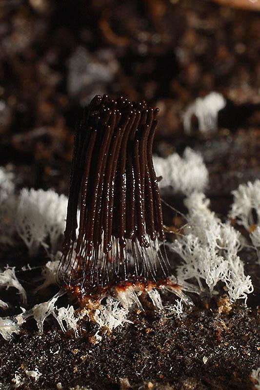 21111 Слизевые грибы