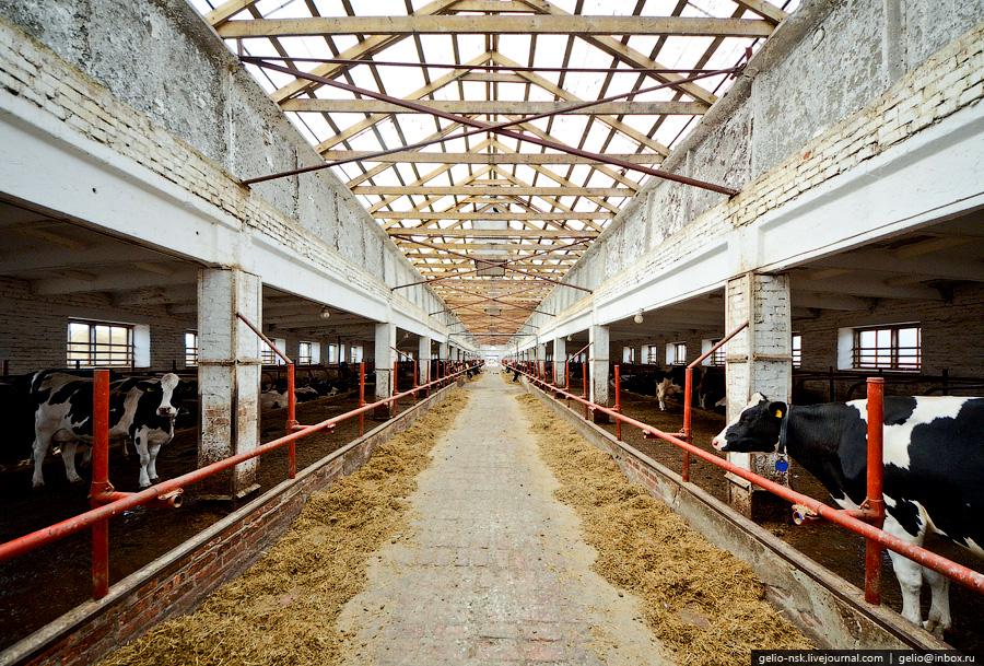 2177 Производство молока: Племзавод Ирмень в Новосибирской области