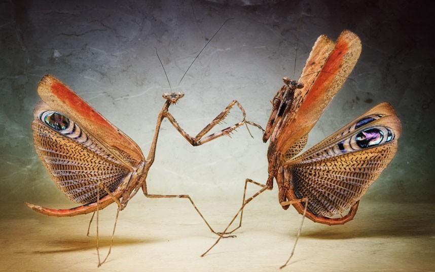 2185 عيون الحشرات إيغور Sivanovicha
