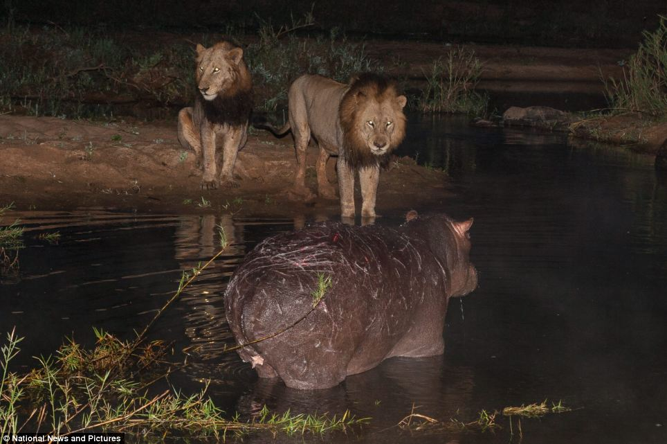 2252 Жестокая природа: гиппопотам против львов