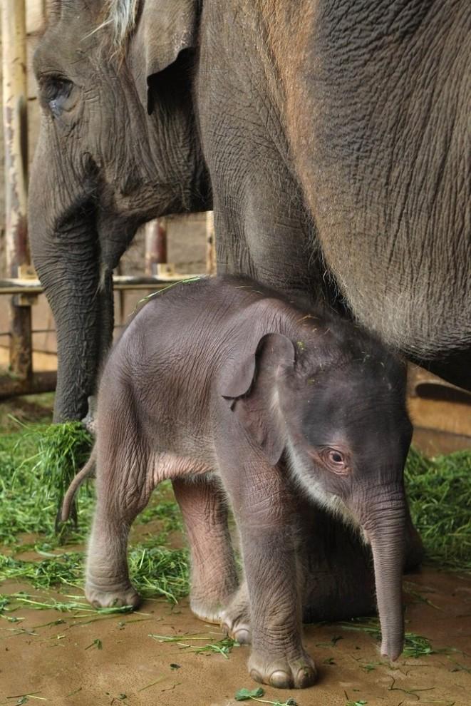 24 661x990 Двухдневный слоненок в Берлинском зоопарке