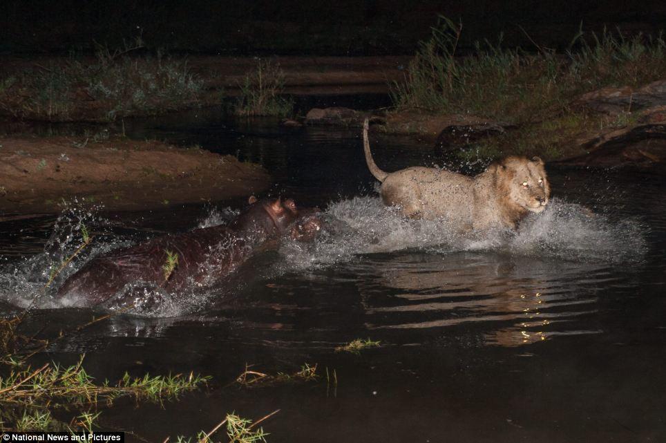 3175 Жестокая природа: гиппопотам против львов