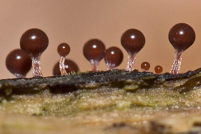 3194 Слизевые грибы