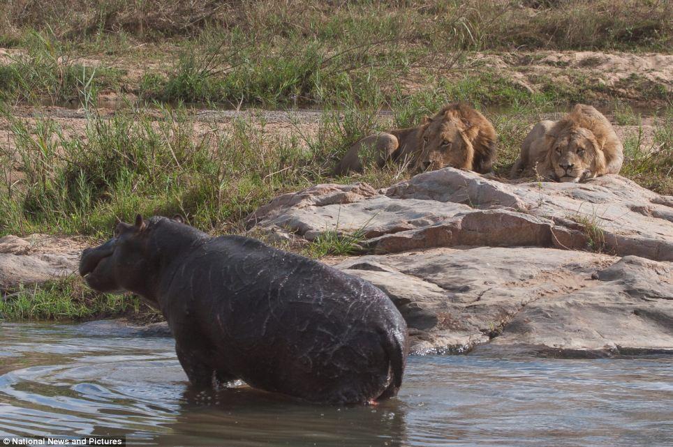 4146 Жестокая природа: гиппопотам против львов