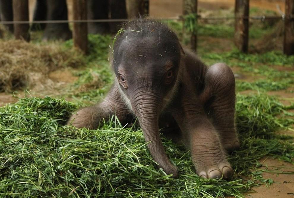 44 990x667 Двухдневный слоненок в Берлинском зоопарке