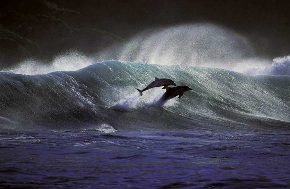 5 990x646 Танцы дельфинов