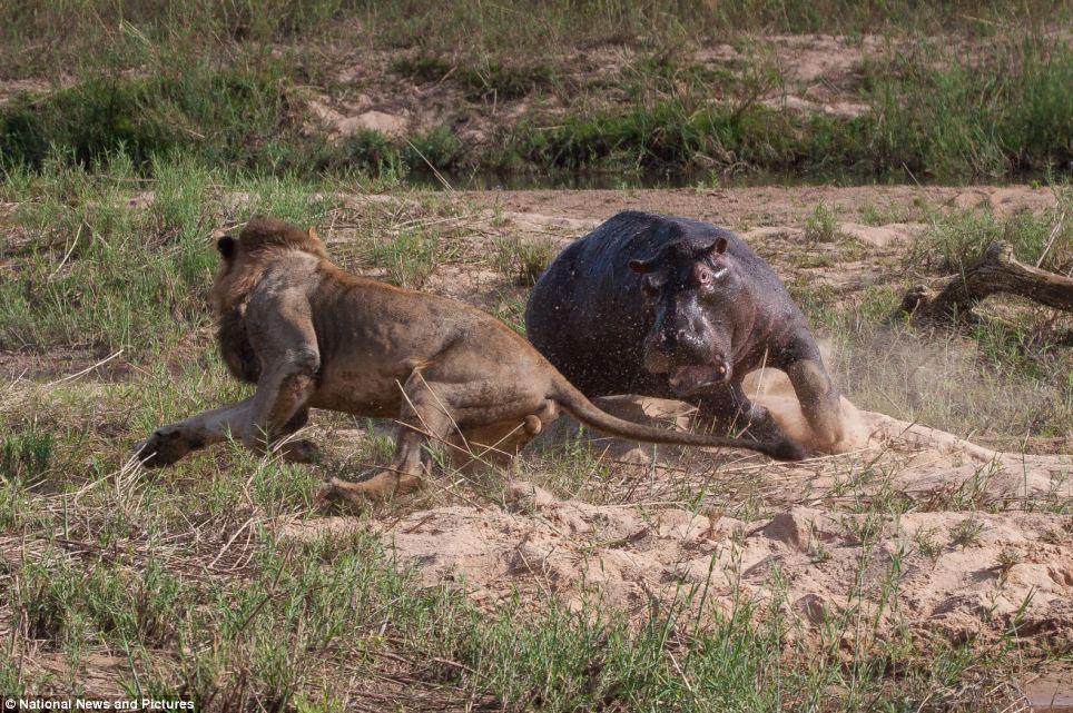 5131 Жестокая природа: гиппопотам против львов