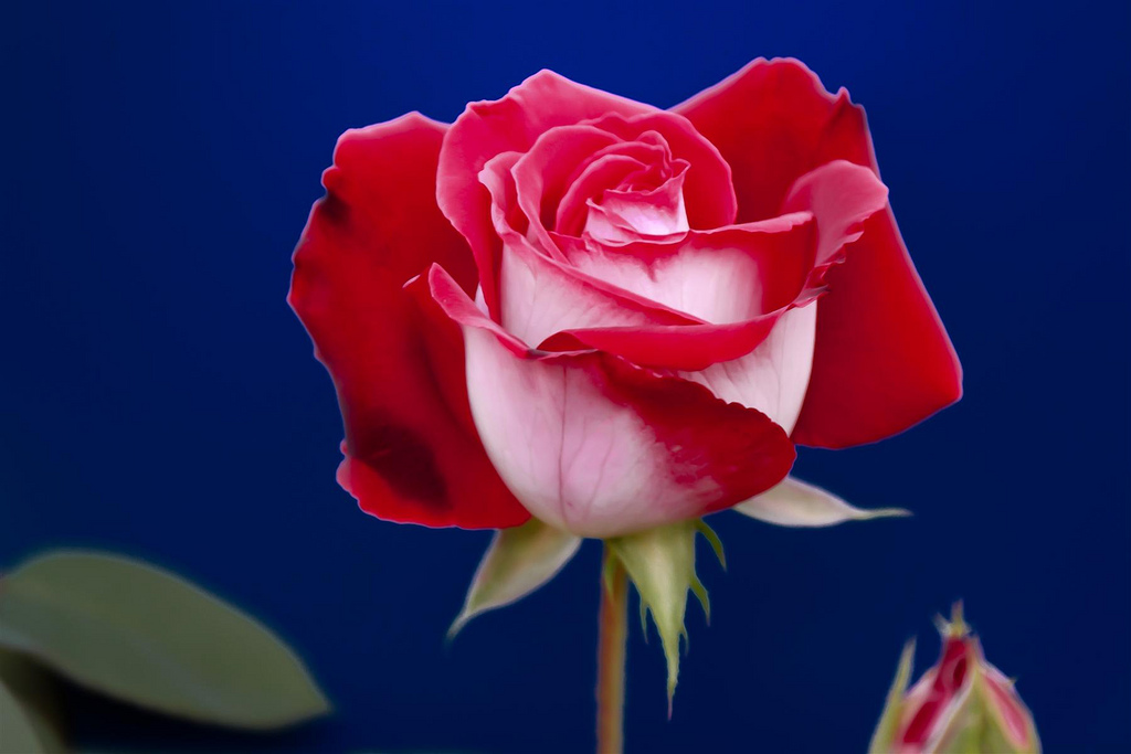5139498653 3a92b807c1 b Роза сорта Osiria