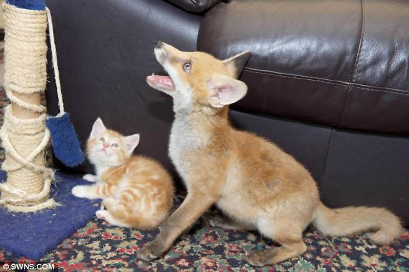 5168 Котята спасли лисенка