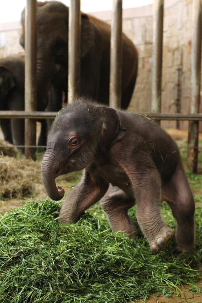 56 661x990 Двухдневный слоненок в Берлинском зоопарке