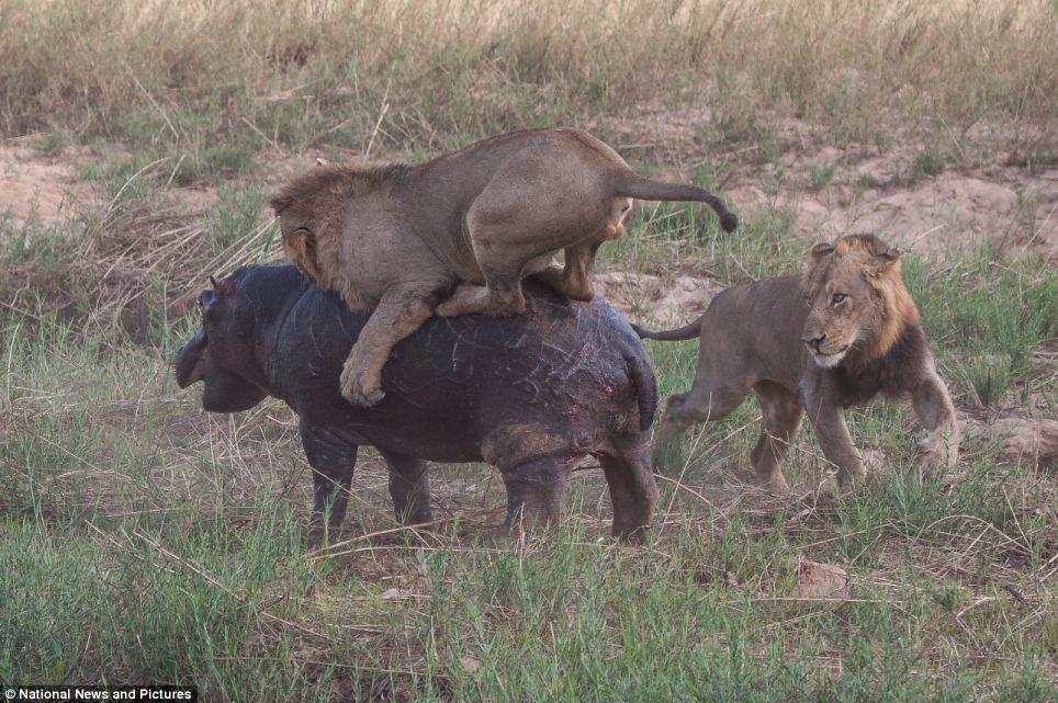 6126 Жестокая природа: гиппопотам против львов