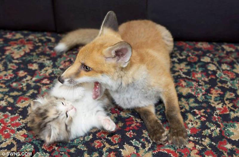 6162 Котята спасли лисенка